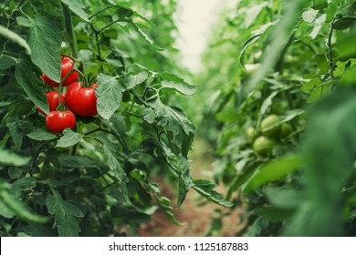 Tomatoes in a Greenhouse. Horticulture. Vegetables. farming