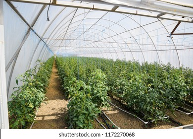 Tomatoes in the greenhouse. Tied tomatoes in the ranks of the greenhouse. Seedlings of tomato. Growing tomatoes in the greenhouse. Seedlin