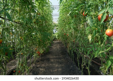Tomatoes grow at a greenhouse