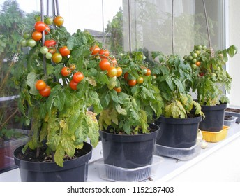 Tomatoes grow in pots on the window sill. Small tomato plant with green and ripen orange to red hue berries. Vegetarian lifestyle and home gardening.