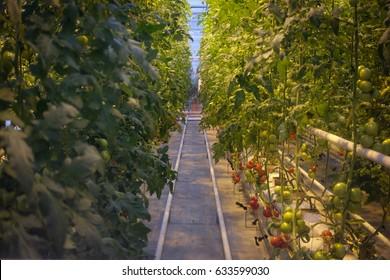 tomatoes growing up in a automated greenhouse