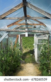 Tomatoes growing in a green house. Farming.
