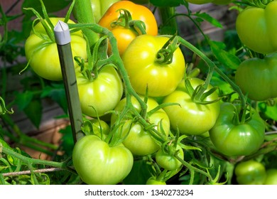 Tomatoes growing  in greenhouse.