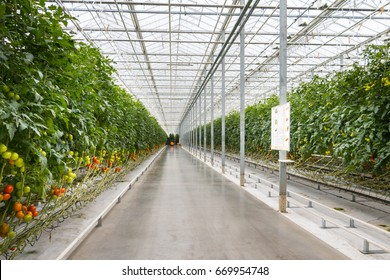 Tomatoes growing in greenhouse. Agriculture background. Selective focus.