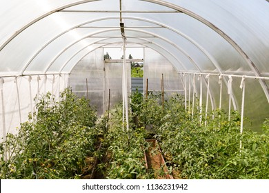 tomatoes growing inside greenhouse made from polycarbonate sheets. Green unripe tomatoes on the bush. Green vegetables growing on the ground.