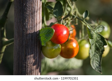 Tomatoes hanging on plant