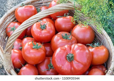 Tomatoes harvest  in the basket outdoors, farming, gardening and  agriculture  concept