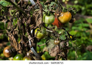 Tomatoes on a branch in a garden