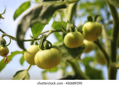 tomatoes on a branch green gardening