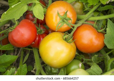 Tomatoes on plant at local farm with different maturation stage. Sustainable agriculture production
