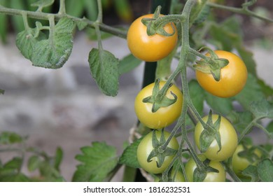tomatoes on the vine, just starting to ripen and turn red