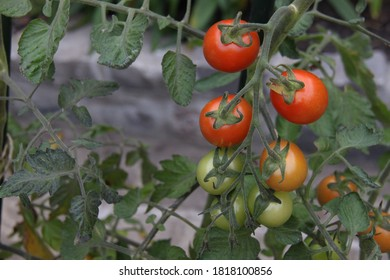 tomatoes on the vine, red and green in colour, close-up with blurred background
