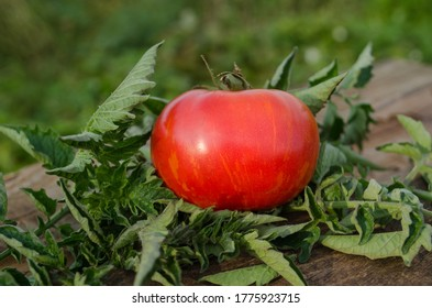 Tomatoes on wooden table. Heap of fresh tomatoes on wooden table. Natural product concept. Dwarf firebird sweet tomatoes