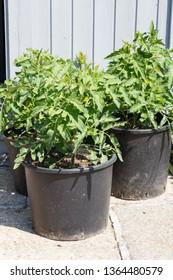 Tomatoes plants in plastic pot in a garden