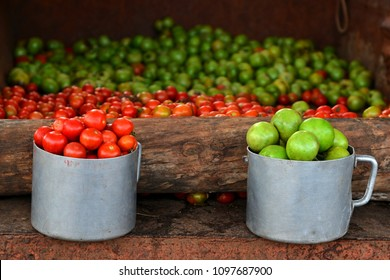 Tomatoes, red and green. Harvesting in Cuba.