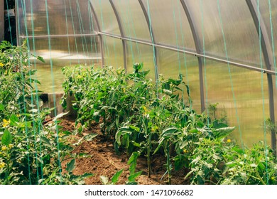 Tomato Cultivation Greenhouse Images, Stock Photos & Vectors