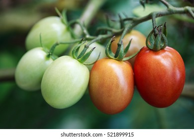 Tomatoes ripening on vine