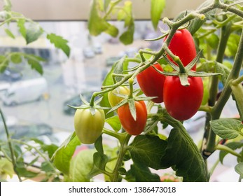 Tomatoes ripening. Organic and grown at home