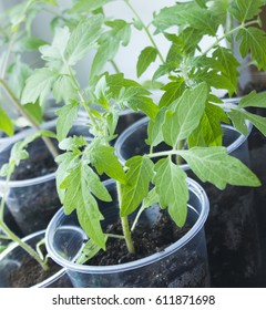 Tomatoes. Seedlings on the window in a glass.