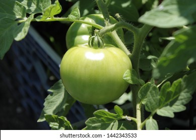 tomatoes seen growing at the community garden in the bedford Stuyvesant section of Brooklyn on a sunny summer day in Brooklyn NY June 30 2019