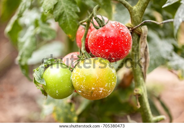 Tomatoes sprinkled with copper sulphate. Traditional old recipe spray for vegetables against pests,diseases
