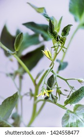 Tomato's branch with yellow blossoms . Close up.
