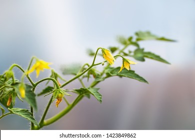Tomato's branch with yellow blossoms and small unripe fruit. Close up.