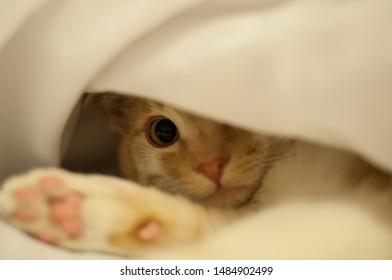 a tomcat hiding underneath a blanket