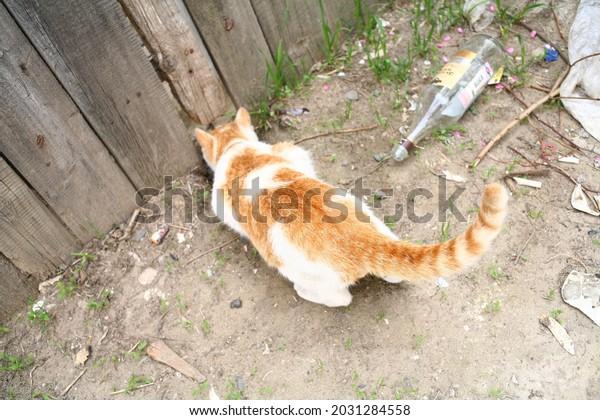 tomcat-hunt-near-weathered-wooden-600w-2