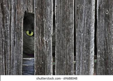 tomcat peeking though opening in barn siding