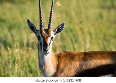 Tommie gazelle. Springtime Africa. Horizontal shot