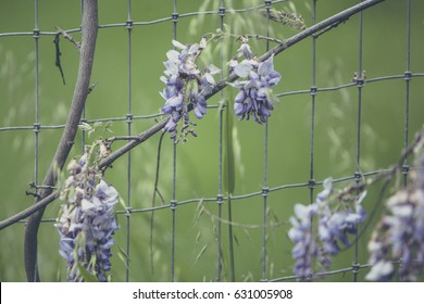 toned image of purple wisteria vines growing on a fence. Photographed with a shallow depth of field in front of a rich green background.