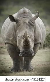 Toned image of a white rhinoceros