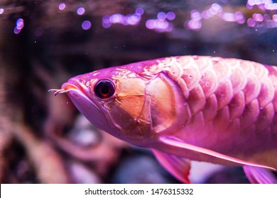 Tong Yan Red Arowana Fish view in close up in an aquarium