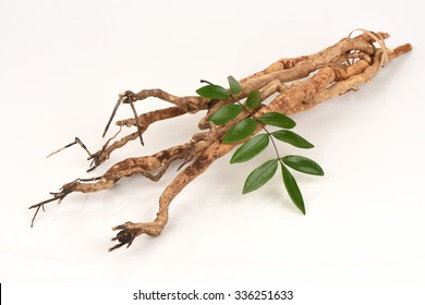 Tongkat Ali (Eurycoma longifolia jack) Medicinal herbs Thailand.