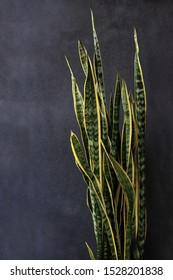 Mother-in-law's Tongue. also know as Snake Plant, Viper's Bowstring Hemp or Sansevieria trifasciata. Saint George's sword. Pictured on a grey background