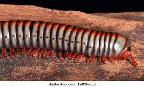 Tonkinbolus dollfusii (rainbow millipede), a Round-backed millipedes (Pachybolidae family).