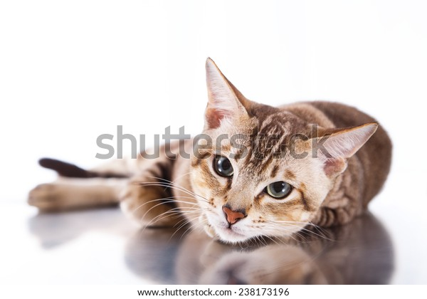 Tonkinese cat , portrait beautiful cat on a white background
