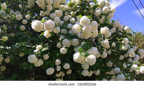 """Tons of gorgeous, white pom-pom flowers. Masses of large snowball-like flower clusters. Bush covered with masses of enormous,""""snowball"""" clusters, contrasting with the green leaves. Snowballs abundance"""