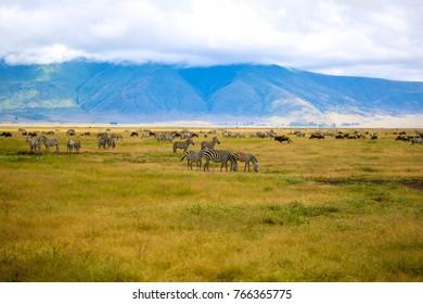Tons of zebras  in Ngorongoro Crater, Tanzania (May, 2017)