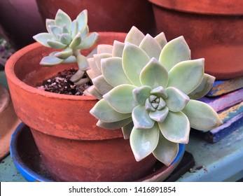 Tony cactus succulent plant in terra cotta pot