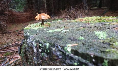 Tony mushroom growing on a treestump