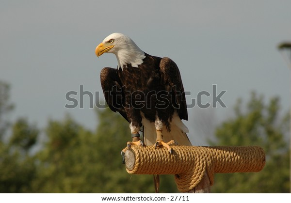 I took this photo of the Bald Eagle at African Lion's Safari, Ontario Canada.  August 2004