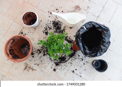 Tools for repotting a mint plant. Changing the old and small pot, to grow more. Bag of soil and watering can on the side.Peppermint plant re-potting, herb garden hobby