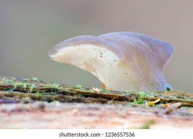Toothed jelly fungus (Pseudohydnum gelatinosum)