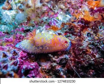 tooth-edged chromodoris, Goniobranchus roboi (Gosliner & Behrens, 1998), walking on the coral reef. Owase, Mie, Japan