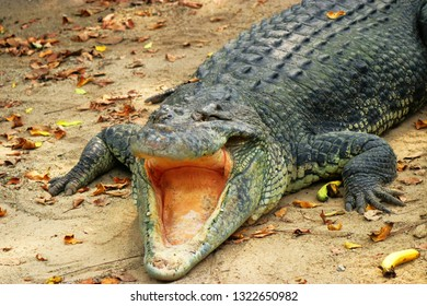 A toothless Saltwater crocodile open mouth Feb 16th 2018 It is among the largest crocodiles and regarded as dangerous by people who share the same environment.