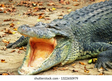 A toothless Saltwater crocodile opens mouth Feb 16th 2018. It is among the largest crocodiles and regarded as dangerous by people who share the same environment.
