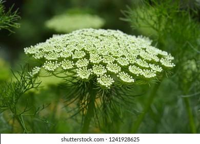 Toothpick bullwort Blutenball - Latin name - Ammi visnaga Blutenball