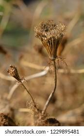 Toothpick bullwort Blutenball seeds - Latin name - Ammi visnaga Blutenball